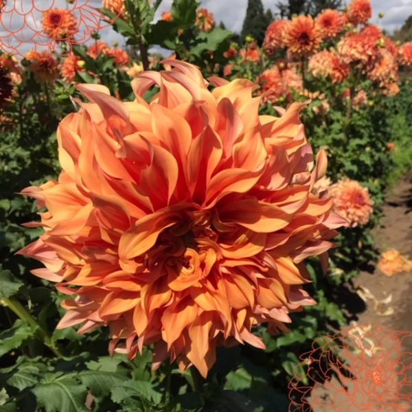 A multi-hued orange dahlia in the forefront with orange flower overlays in the corners and additional dahlias in the background